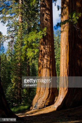ジャイアント Sequoias