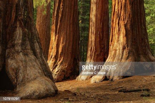 Giant Sequoias, Yosemite National Park