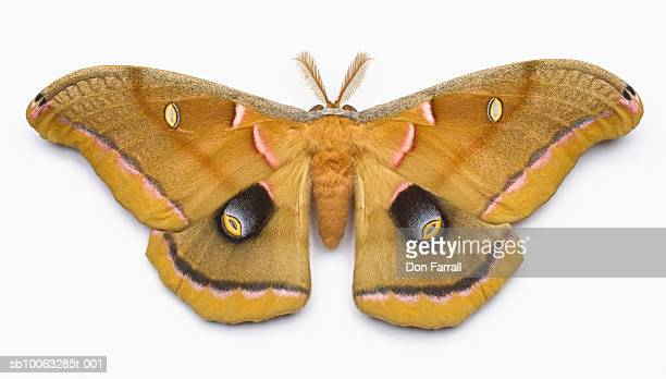 Giant silk moth (male) on white background, overhead view