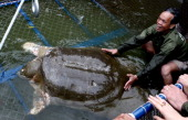 A giant softshell turtle which is considered a sacred symbol of Vietnamese independence is guided into a cage for a health check by handlers at Hoan...