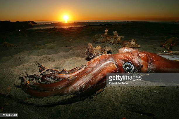 A giant squid lies on the beach after it washed ashore on January 19 2005 in Newport Beach California Scientists are trying to figure out why...