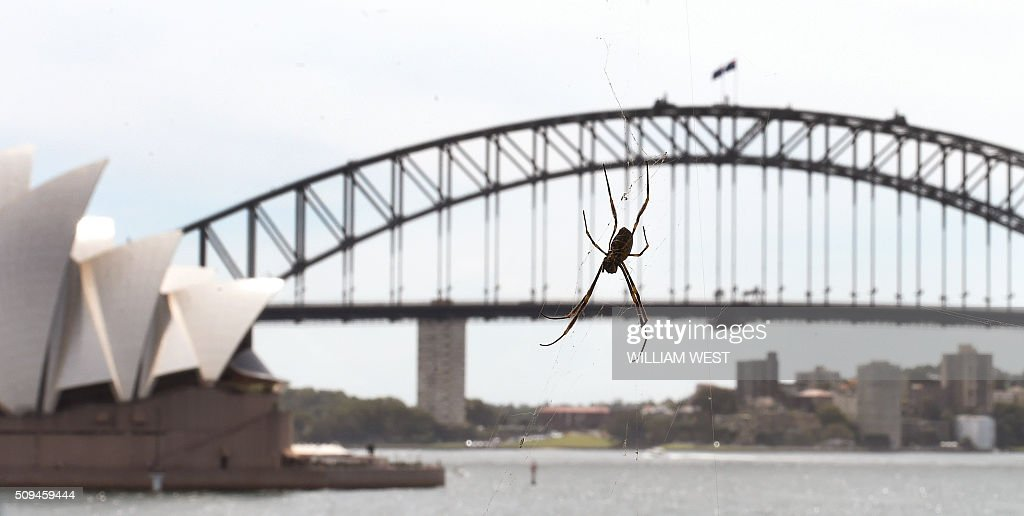 A giant St Andrew's Cross spider sits in it's web at Mrs Macquarie's Chair enjoying the view of the Sydney Opera House and Harbour Bridge as it waits for it's next meal to come along, on February 11, 2016. AFP PHOTO / WILLIAM WEST / AFP / WILLIAM WEST