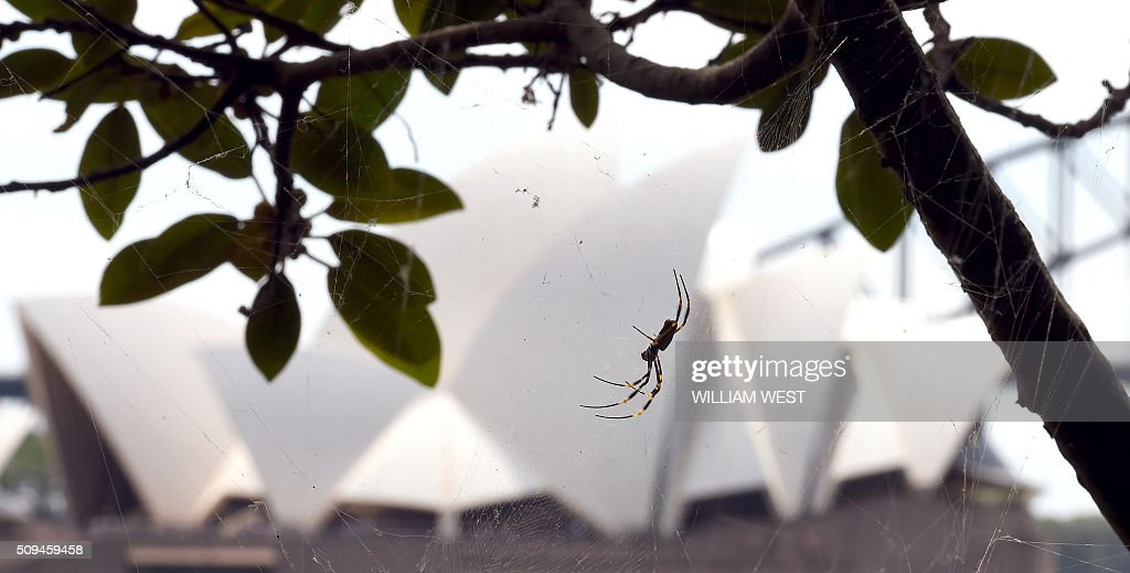 A giant St Andrew's Cross spider sits in it's web at Mrs Macquarie's Chair enjoying the view of the Sydney Opera House as it waits for it's next meal to come along, on February 11, 2016. AFP PHOTO / WILLIAM WEST / AFP / WILLIAM WEST