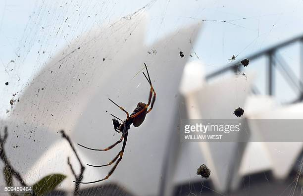 A giant St Andrew's Cross spider sits in it's web at Mrs Macquarie's Chair enjoying the view of the Sydney Opera House as it waits for it's next meal...