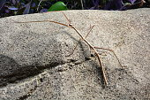 A giant stick bug walks over a rock in the gardens.