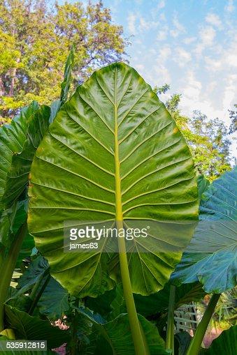 Giant Taro leaves (Alocasia) : Stock Photo