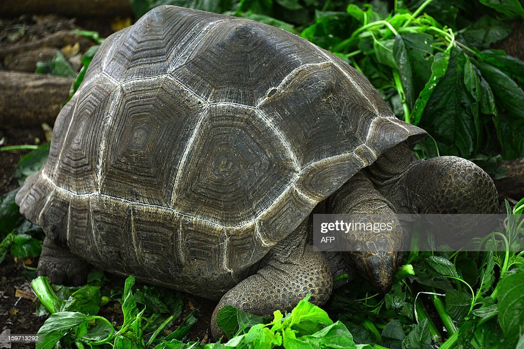 A giant tortoise eats leaves on Prison island in Zanzibar on January 9, 2013. The giant tortoises were imported from the Seychelles in the late 19th century.