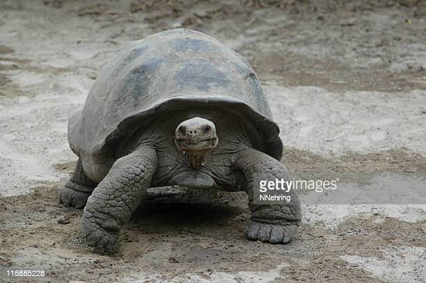 giant tortoise, Geochelone elephantopus, Galapagos Islands