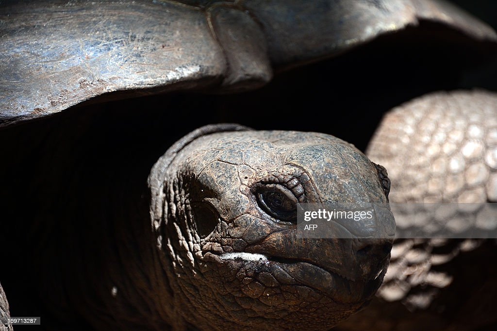 A giant tortoise is seen on Prison island in Zanzibar on January 9, 2013. The giant tortoises were imported from the Seychelles in the late 19th century.