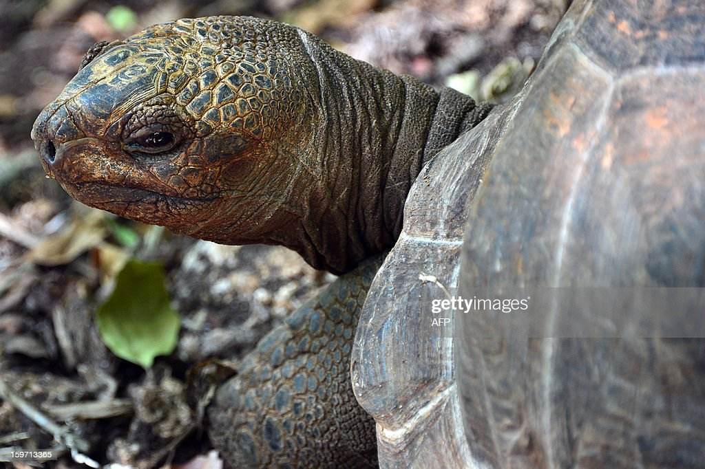 A giant tortoise is seen on Prison island in Zanzibar on January 9, 2013. The giant tortoises were imported from the Seychelles in the late 19th century. AFP PHOTO / GABRIEL BOUYS