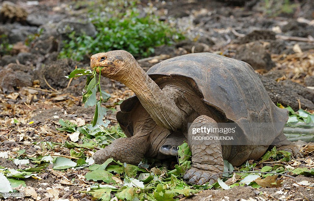 A giant tortoise species walks in a breeding centre at the Galapagos National Park in Santa Cruz Island in the Galapagos archipelago located some...