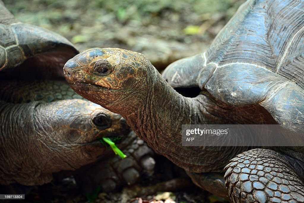 Giant tortoises eat leaves on Prison island in Zanzibar on January 9, 2013. The giant tortoises were imported from the Seychelles in the late 19th century. AFP PHOTO / GABRIEL BOUYS
