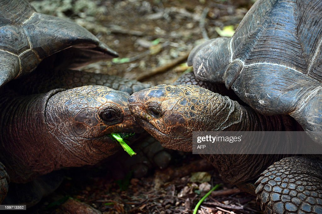 Giant tortoises eat leaves on Prison island in Zanzibar on January 9, 2013. The giant tortoises were imported from the Seychelles in the late 19th century.