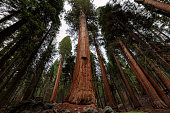 Giant sequoia forest in Sequoia National Park, California