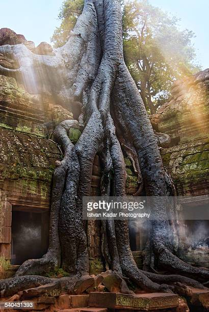 Giant tree is grappling with the temple Ta Prohm