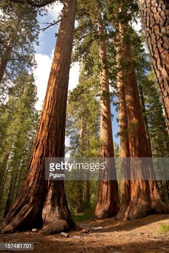Giant trees reach the sky
