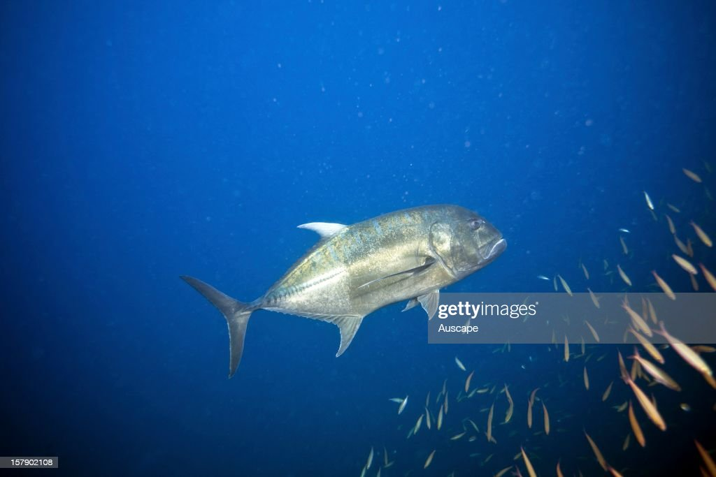Giant trevally at the wreck of the steamship 'Yongala' off Townsville North Queensland Australia