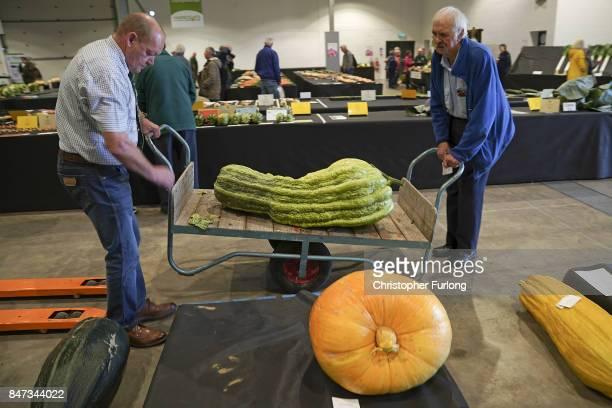 Giant vegetable judges manoeuvre a giant marrow at the Harrogate Autumn Flower Show on September 15 2017 in Harrogate England Gardeners and...
