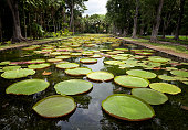 Giant water lilies (Victoria Amazonica)