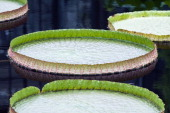 Giant Water Lilly Pad