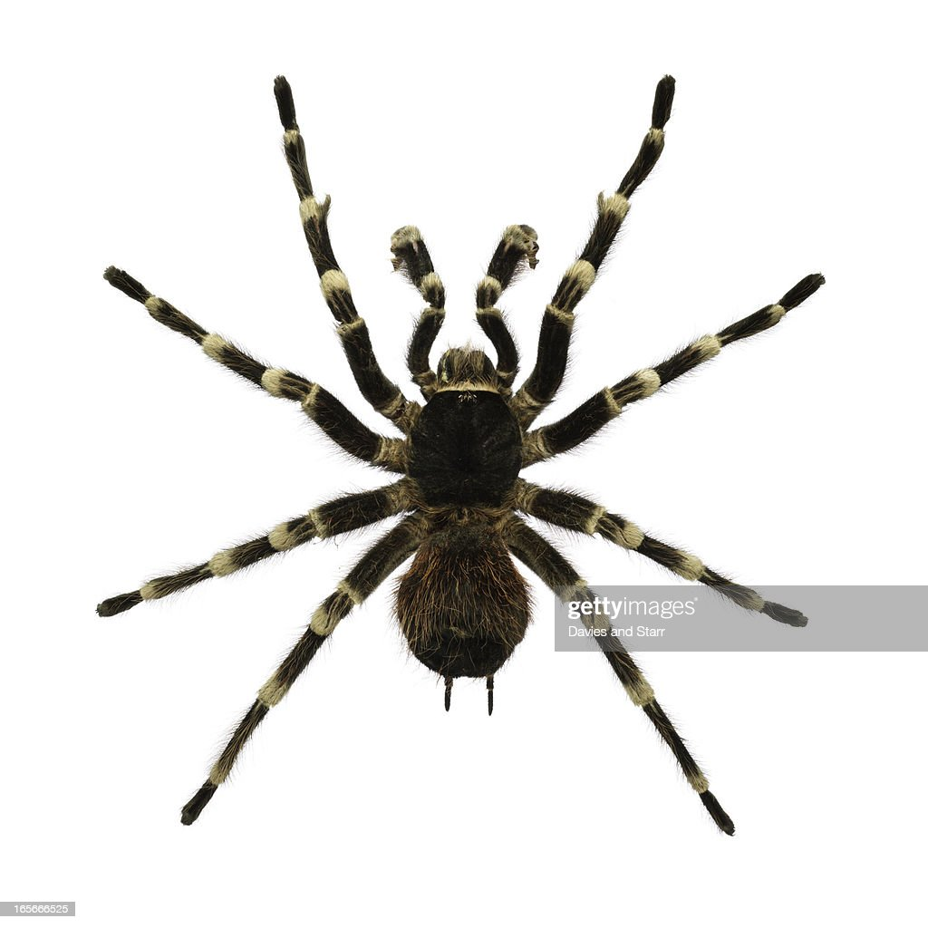 Giant White Knee Tarantula Spider