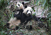 Giants pandas eat bamboo in an enclosure at the Chengdu Research Base of Giant Panda Breeding on June 30 2015 in Chengdu China Twin female cubs...