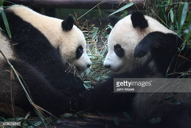 Giants pandas pause from eating bamboo in an enclosure at the Chengdu Research Base of Giant Panda Breeding on June 30 2015 in Chengdu China Twin...