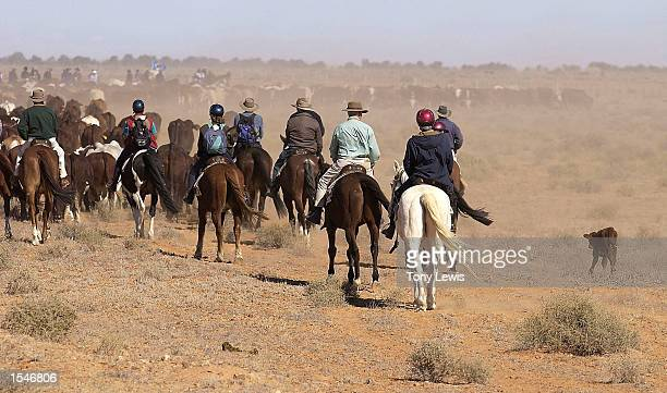 Gibber Red a calf born on the Great Australian Outback Cattle Drive brings up the rear as cattle are driven south during the cattle drive June 1 2002...