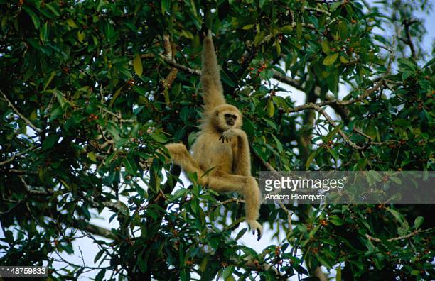 Gibbon (genus Hylobates), just hanging out and munching the fruit from a fig tree