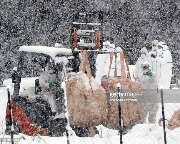 Gifu Prefecture staffs bury bags of culled chickens in the snow as the avian flu case is detected at a poultry farm on January 15 2017 in Yamagata...