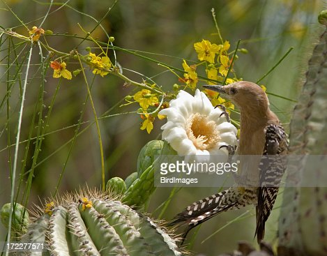 Gila Woodpecker & Cactus Bloom