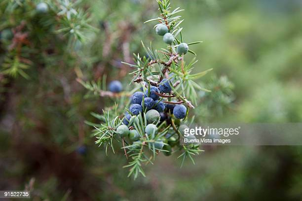 Gin, Juniper berries (Juniperus communi)