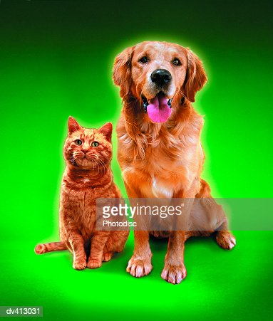 Ginger Cat and Golden Retriever sitting side by side : Stock Photo