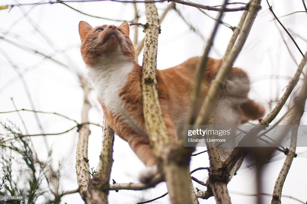 Ginger cat climbing tree