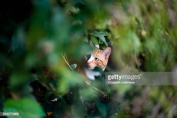 Ginger cat in a bush