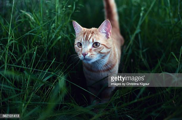Ginger cat in grass