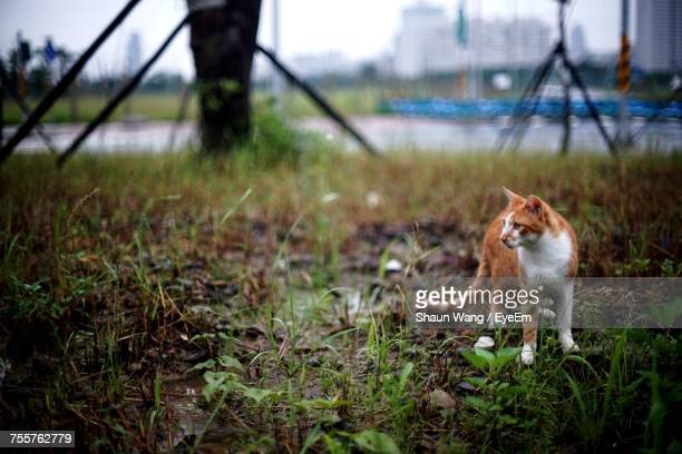 Ginger Cat Looking Away While Standing On Field