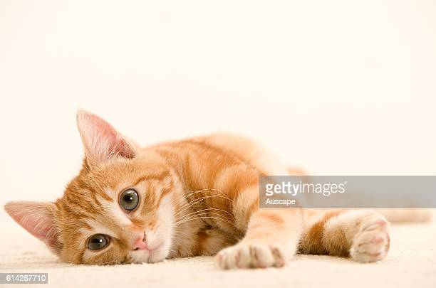 Ginger cat lying down gazing past photographer white background