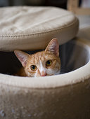 Ginger cat peeking up from a stool