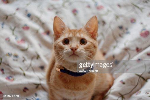 Ginger cat : Stock Photo