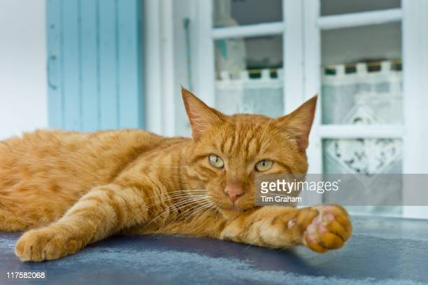 Ginger cat resting on hot tin roof at St Martin de Re Ile de Re France