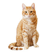 Ginger cat sits and looks directly in camera isolated on white