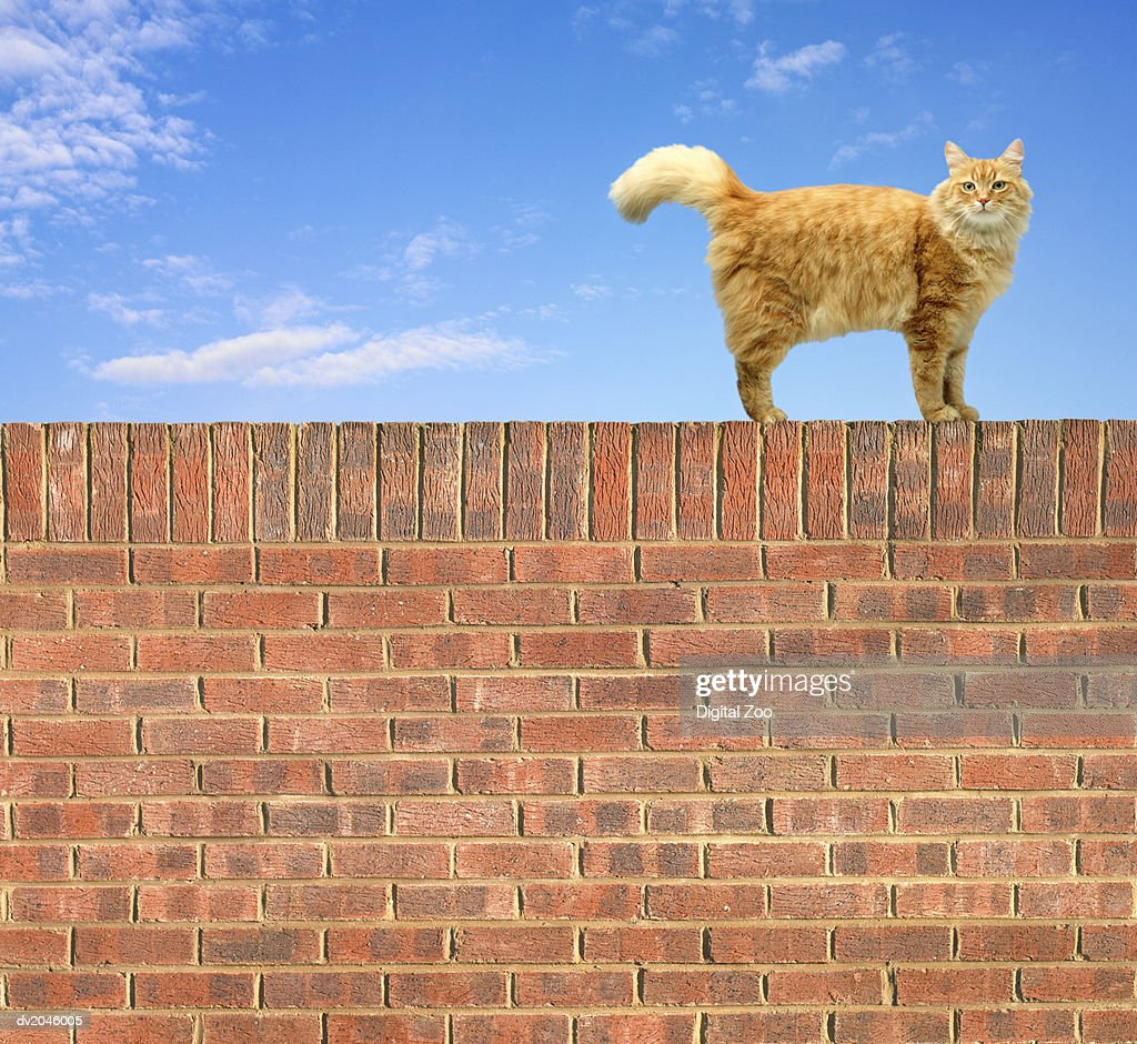 Ginger Cat Standing on Brick Wall : Stock Photo