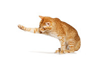 Ginger cat stretches out his paw isolated on white