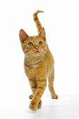 Ginger cat wearing rhinestone collar