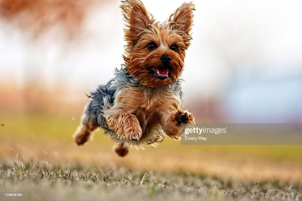 Ginger dog is happy to be outside : Stock Photo