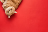 Ginger Exotic Shorthair Cat Isolated On Coral Background. Top View With Copy Space For Text