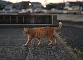 Ginger feral cat