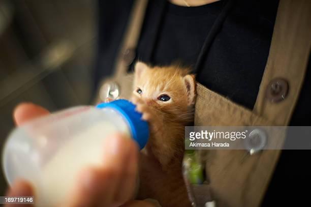 A ginger kitten drinking milk