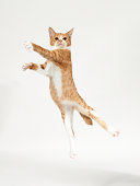 Ginger kitten jumping like dancer